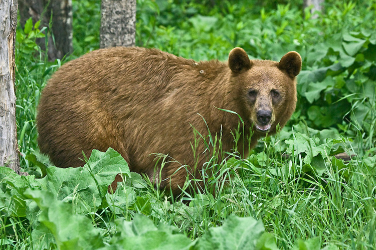 Cinnamon Black Bear standing and watching from the forest greenery