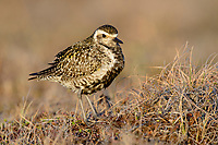 Female Pacific Golden-Plover (Pluvialis fulva) in breeding plumage. Yukon Delta National Wildlife Refuge, Alaska. June.
