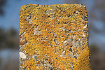 Ornage shield lichen growing on concrete post