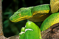 412304008 a captive emerald tree boa corallus carina coils on a small tree branch at a zoo in california