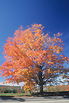 Maple tree in the Fall, Augusta, Maine, USA