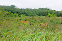 Whitetail deer at forest edge near the Atlantic Ocean<br /> Kejimkujik National Park (Seaside Adjunct)<br /> Nova Scotia<br /> Canada
