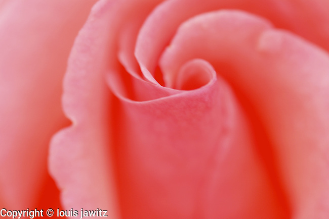 pink rose flower bud open macro
