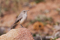 Rock Wren, Salpinctes obsoletus, adult, Rocky Mountain National Park, Colorado, USA, September 2006