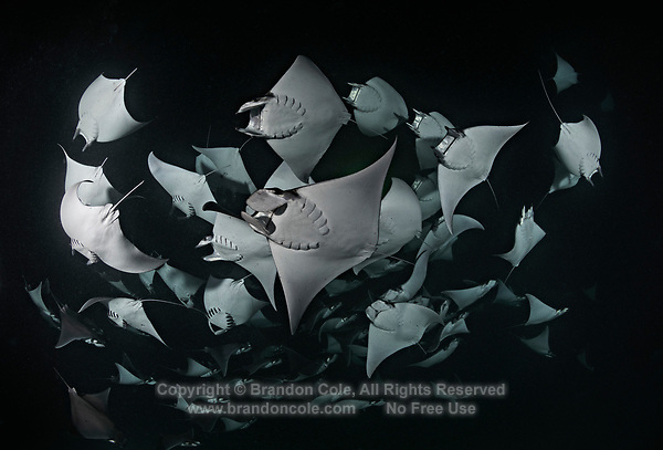 TW3285-Dr. Smoothtail Mobula Rays (Mobula munkiana), an aggregation of hundreds of the 2 to 3 foot wide rays are feeding on plankton at night. Baja, Mexico, Sea of Cortez, Pacific Ocean.<br /> Photo Copyright &copy; Brandon Cole. All rights reserved worldwide.  www.brandoncole.com