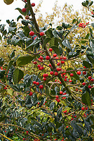 Ilex 'J.C. Van Tol' holly in berry berries, Holly