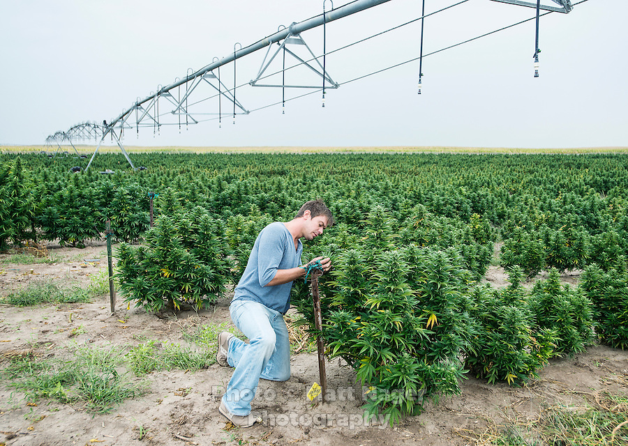 Jordan Stanley (cq) at the Stanley Brother's farm near Wray, Colorado, Monday, September 22, 2014. The Stanley Brothers have developed a popular strain of marijuana that has been found to be helpful in reducing seizures. The marijuana high in CBDs and low in THC, the chemical which gets a person stoned.<br /> <br /> Photo by Matt Nager
