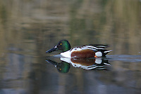 Northern Shoveler (Anas clypeata) seen on a pond in southern Arizona, on a winter day.