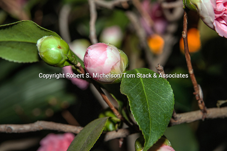 Camelia Japonica bud starting to open