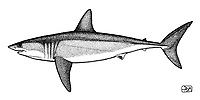 Shortfin mako shark, Isurus oxyrinchus, lateral view, pen and ink illustration.