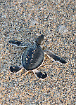The natural selection is ruthless. Only one baby in 1000 and 2000 will reach adulthood...Once in the water, baby turtles feed on zooplankton for months. When they reach the size of 35 cm, they will eat grass and marine plants<br /> La s&eacute;lection naturelles est impitoyable. Seulement un b&eacute;b&eacute; sur 1000 &agrave; 2000 atteindra l'&acirc;ge adulte..Une fois dans l'eau, les b&eacute;b&eacute;s tortues se nourrissent de zooplancton pendant des mois. Lorsquelles atteignent la taille de 35 cm, elles vont manger des herbes et plantes marines.