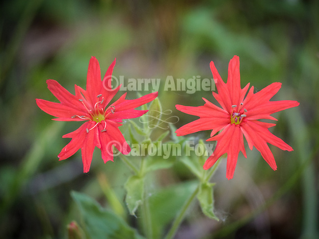 Indian Pink flowers. Colorful spring wildflowers along Sutter Creek, Amador County, Calif.