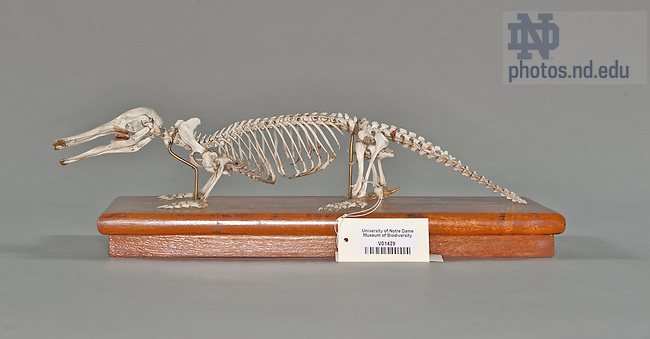 Platypus..One of the items in the collection of the Museum of Biodiversity in the Jordan Hall of Science.  For Notre Dame Magazine.