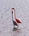 Bonaire, Netherland Antilles -- A young flamingo begs for food from its parent.  Flamingos flock and nest in the lakes at the north of Bonaire.  The flamingo is born white or gray, then acquires its coloration from chemicals in the fish it eats.  This accounts for the variation in colors between different individuals.