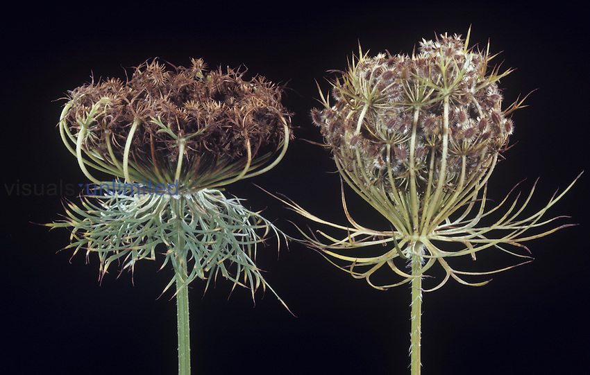 Seed heads of a Carrot on the left and Queen Anne's Lace or Wild Carrot on the right ,Daucus carota,, North America.