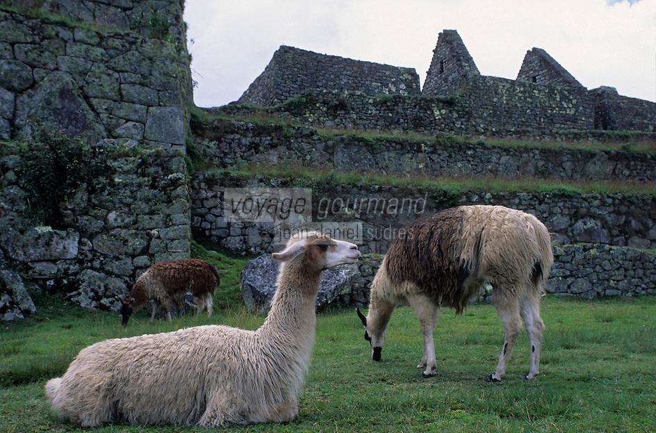 Amérique/Amérique du Sud/Pérou/Env de Cuzco : Le Machu Picchu - Les lamas
