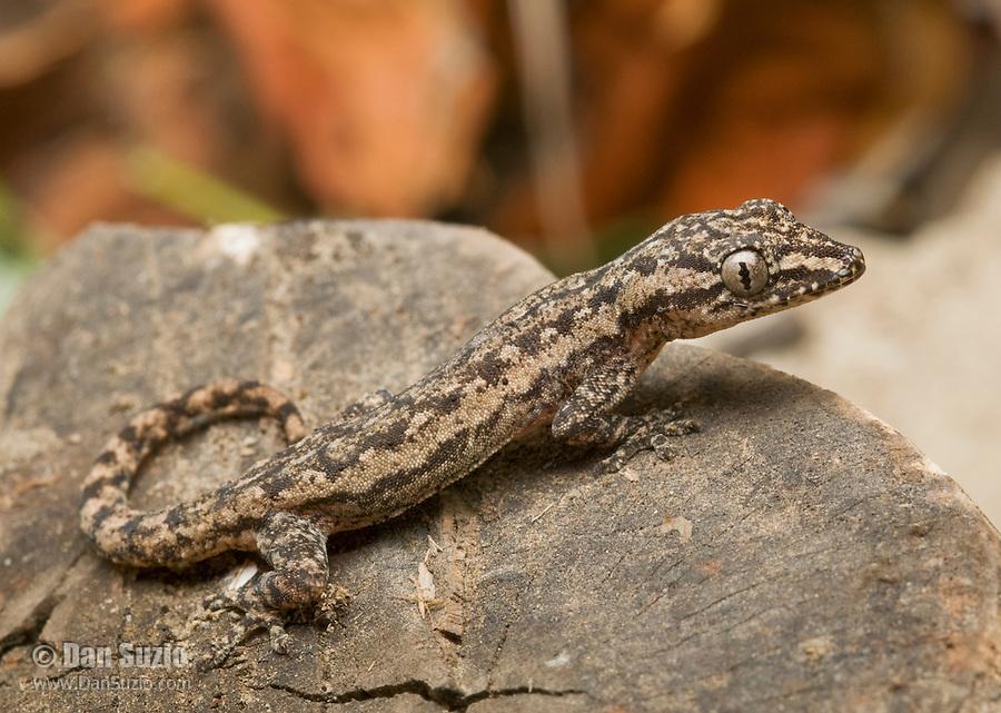 House gecko, Hemidactylus frenatus. Atauro Island, Timor-Leste (East Timor)