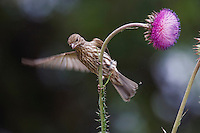 House Finch, Carpodacus mexicanus, adult female on thistle, Hill Country, Texas, USA, April 2007