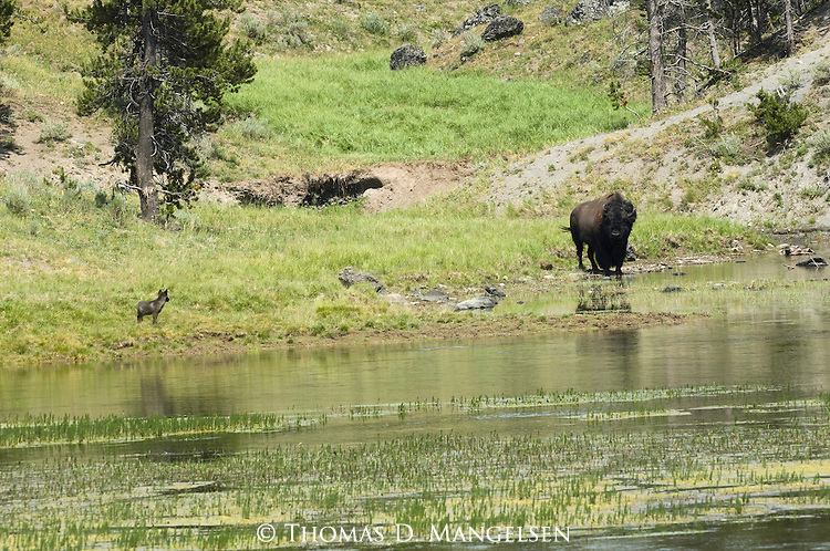 Wolf pup stands down the bank from a bison along the Yellowstone River in Yellowstone National Park.