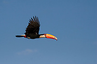 Toucan - Ramphastos toco - flying against a blue sky. Cerrado ecosystem, Brazil.