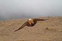 Lammergeier - Gypaetus barbatus