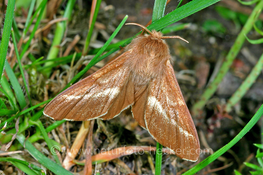 Wolfsmilch-Ringelspinner, Wolfsmilchringelspinner, Wolfsmilchspinner, Raupe, Raupen, Malacosoma castrense, Malacosoma castrensis, ground lackey, Ground Lackey moth, caterpillar, La Livrée des prés, Glucken, Lasiocampidae