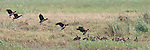 Flock of white-faced whistling ducks landing in order like an airport.  Over 20 birds with five about to land.
