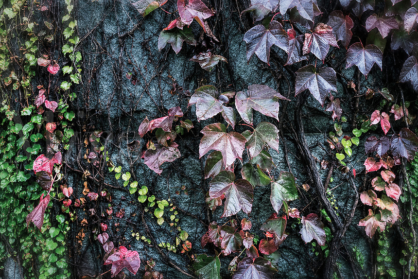 Ivy growing on a cemetery crypt.