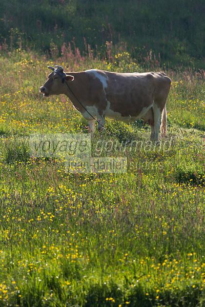 Royaume-Uni, îles Anglo-Normandes, île de Guernesey, Saint-Andrews, Les Vauxbelets, Vache de race guernesey est une race bovine britannique. // United Kingdom, Channel Islands, Guernsey island, St Andrews, Les Vauxbelets, The Guernsey is a breed of cattle used in dairy farming. I