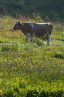 Royaume-Uni, îles Anglo-Normandes, île de Guernesey, Saint-Andrews, Les Vauxbelets, Vache de race guernesey est une race bovine britannique. // United Kingdom, Channel Islands, Guernsey island, St Andrews, Les Vauxbelets, The Guernsey is a breed of cattle used in dairy farming. I