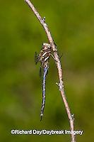 06364-001.01 Springtime Darner (Basiaeschna janata) male, Clay Co,  IL