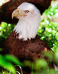 Bald Eagle at Treasure Island, Walt Disney World, FL