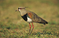 Southern Lapwing (Vanellus chilensis),adult, Pantanal, Brazil, South America