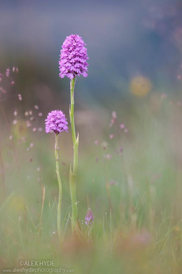 Pyramidal Orchid (Anacamptis pyramidalis) detail. Peak District National Park, Derbyshire, UK. July.