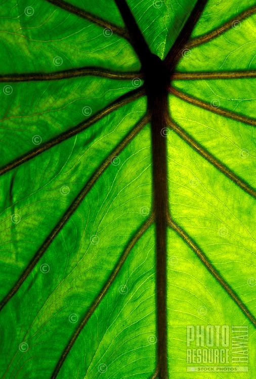 backlit taro leaf, staple food of the Hawaiian people