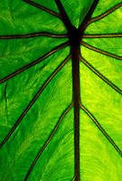 backlit taro leaf, staple food of the Hawaiian people