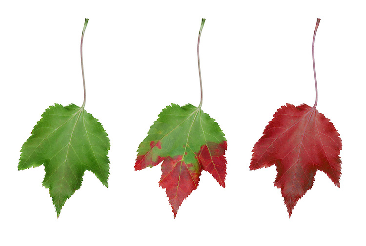 Acer leaf  in autumn, showing the progessive removal of green chlorophyll from the leaf, allowing the remaining red pigments to prevail.