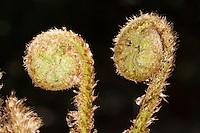 Gewöhnlicher Wurmfarn, Echter Wurmfarn, Dryopteris filix-mas, Bischofsstab, Bischofsstäbe, male fern, male-fern, worm fern, worm-fern