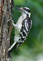 Adult female downy woodpecker