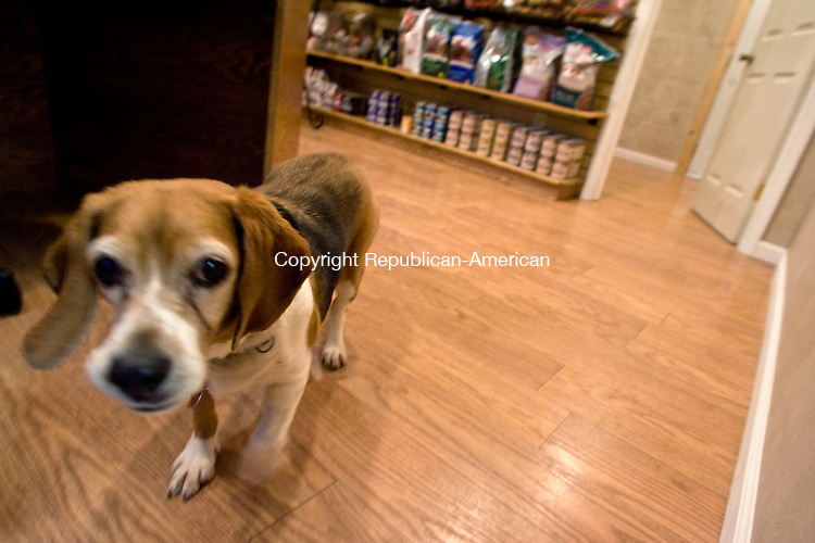 WOODBURY, CT - 07 JANUARY 2009 -010709JT05-<br /> Holly, a 15-year-old beagle, walks through the lobby of the Haute Dog Hotel, a pet resort that boasts cageless rooms, TVs, and a dessert cart at bedtime, on Wednesday in Woodbury.<br /> Josalee Thrift / Republican-American
