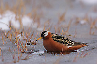 Adult female Red Phalarope (Phalaropus fulicarius) in breeding plumage. Arctic Coastal Plain, Alaska. June.