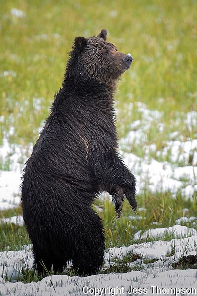Grizzly Bear standing, Yellowstone National Park