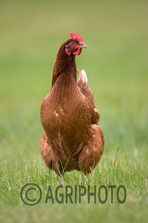 Free Range Chickens Out At Grass