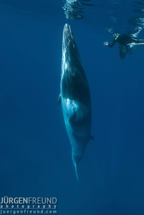Dwarf minke whale makes close passes to snorkler on a minke line of the Undersea Explorer (Balaenoptera acutorostrata)