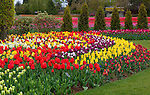 "Skagit County, WA               <br /> Assorted varieties of flowering tulips form colorful patterns in the RoozenGaarde garden with flowering tulip fields in the distance.     ""Courtesy of the Washington Bulb Co. Inc."""