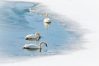 Swans on the Snake River at Oxbow Bend  in Grand Teton National Park in Wyoming.