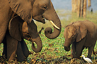African Elephant family--cow with two calves of different ages.
