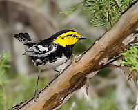 Golden-cheeked Warbler, near Killeen, TX