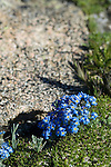 Alpine Forget-me-not, Eritrichum aretiodes, wildflower, dwarf, flower, Borage Family, Trail Ridge, alpine, tundra, summer, July, day, morning, Rocky Mountain National Park, Colorado, USA