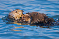 USA, California, Moss Landing, Sea otter (Enhydra lutris nereis) mother and baby